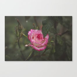 Wet Roses Canvas Print