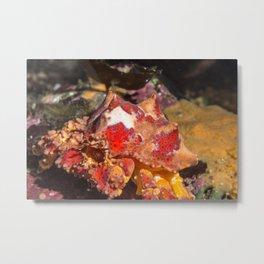 Puget sound kind crab Metal Print