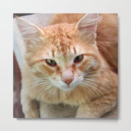 Street Cat - Ginger Tom  Metal Print