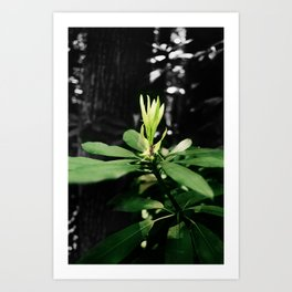 Laurel Bloom Art Print