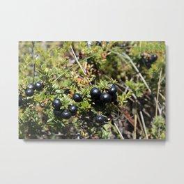 Wild Mountain Blueberries Metal Print