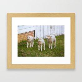 3 Little Lambs Framed Art Print