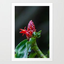 red ginger plant Art Print