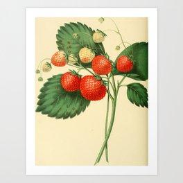 THE BOSTON PINE STRAWBERRY Art Print