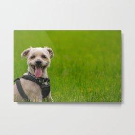 Shorkie dog with harness on Metal Print