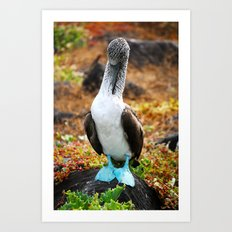 Blue Footed Booby 3 Art Print