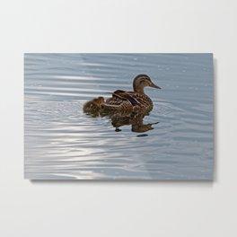 Mallard Duck & Ducklings Swimming Metal Print