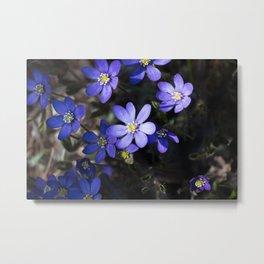 Anemone hepatica wildflowers in forest Metal Print