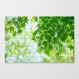 Green leaves of Japanese maple Canvas Print