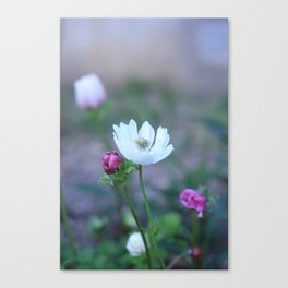 Anemone from the garden Canvas Print