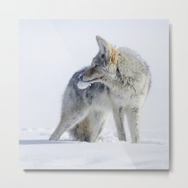 Embracing the Snow - Coyote at Yellowstone Metal Print