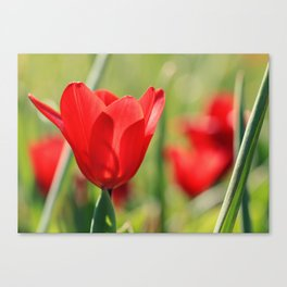 Red tulips in backlight 2 Canvas Print