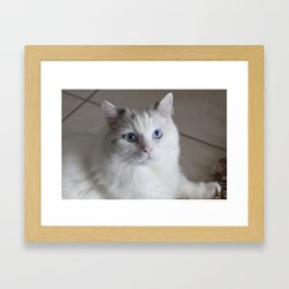 Ragdoll Cat Blue Eyes Framed Art Print