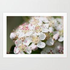 Aronia Blossoms Art Print