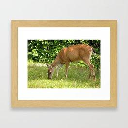 Columbian Black Tailed Deer (female) 2 Framed Art Print
