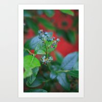 Pre-ripe Blueberries Art Print
