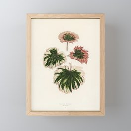 Saxifrage (Saxifraga Fortunei) engraved by Benjamin Fawcett (1808-1893) for Shirley Hibberd's (1825- Framed Mini Art Print