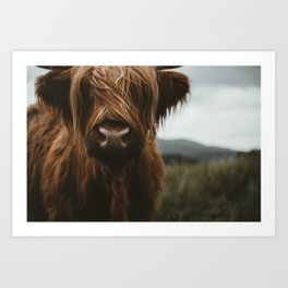 Scottish Highland Cattle Art Print