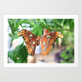 Attacus Atlas Art Print