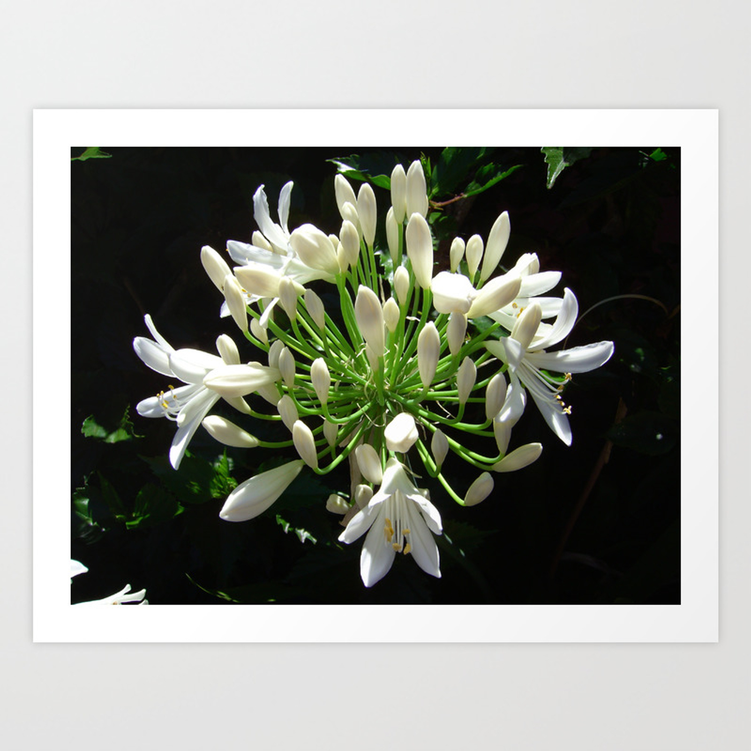 Close Up View Of A White Agapanthus In Full Bloom Art Print By