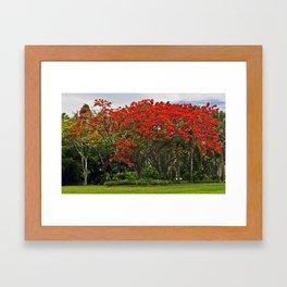 Royal Poinciana Tree Framed Art Print
