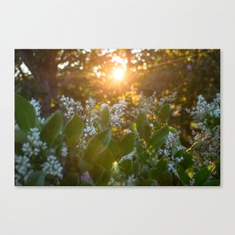 Sunset through the flowers Canvas Print