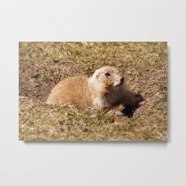 Black Tailed Prairie Dog Metal Print