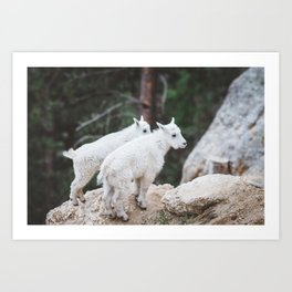 Baby Mountain Goats - Black Hills National Forest Art Print