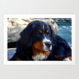 Bernese Mountain Dog Enjoying the Day Art Print