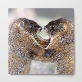 Watercolor Marmot 33, Forest Canyon Tundra, RMNP, Colorado, Sibling Rivalry Metal Print