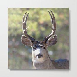 Watercolor Deer, Mule 01, RMNP, The Stare Metal Print