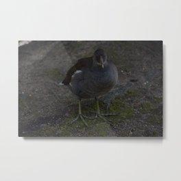 The moorhen glare Metal Print