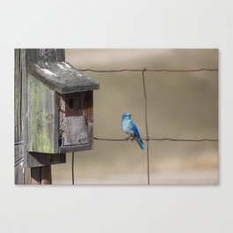 Mountain Bluebird at Home Canvas Print
