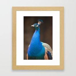 Male Indian Peafowl Framed Art Print