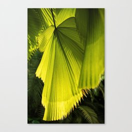 Licuala Grandis in the Morning Light Canvas Print