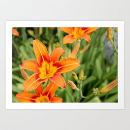 Orange flowers in the green Art Print