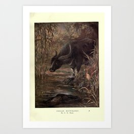 Finn - The Wild Beasts of the World (1909) - Vol 2 Plate 8 Indian Buffaloes Art Print