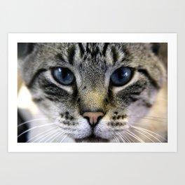 Close Up of a Curious Blue Eyed Cat Art Print