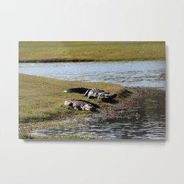 Big And Huge Alligators Metal Print
