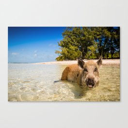Pig in Bahamas Canvas Print