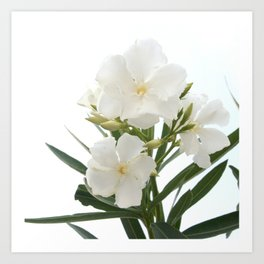 White Oleander Flowers Close Up Isolated On White Background  Art Print