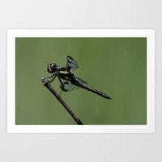 Twelve-spotted Skimmer Art Print
