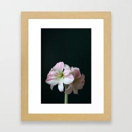 The Amaryllis Framed Art Print