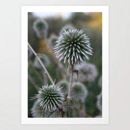 Macro Seed Head of Round Headed Garlic  Art Print