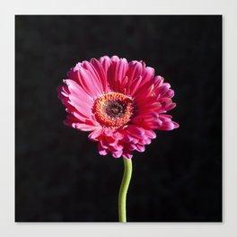 Single Pink Flower on Black Background Canvas Print