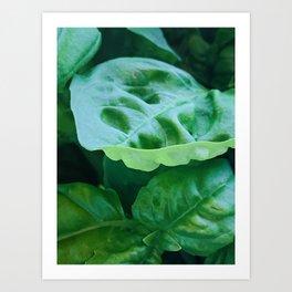 Green Basil Art Print