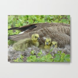 goslings III Metal Print
