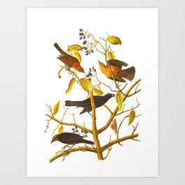 Rusty Grackle Bird Art Print