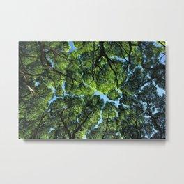 Crack willow ( salix fragilis ) crone. Metal Print