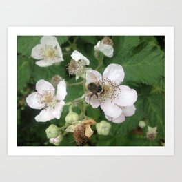 Blackberry bee Art Print